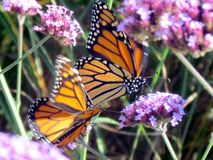Toronto湖黑脉金斑蝶和马鞭草属植物花2013年 库存照片