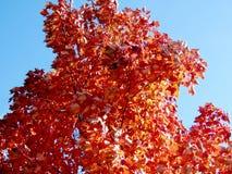 Toronto autumn maple tree 2016 Royalty Free Stock Images