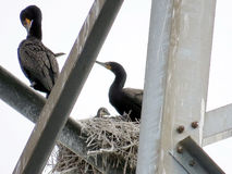 Toronto Cormorant family on the power transmission tower 2017. Cormorant family on the power transmission tower in Toronto, Canada, June 3, 2017 royalty free stock images