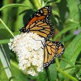 Toronto fjärilar för monark för sjö två 2017 royaltyfri fotografi