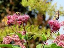 Toronto fjärilar för monark för sjö två och bi 2017 royaltyfri foto