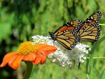 Toronto fjärilar för monark för sjö två och blomma 2017 royaltyfri foto