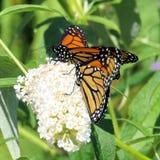 Toronto fjärilar för monark för sjö två och vit blomma 2017 royaltyfria foton