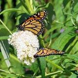 Toronto fjärilar för monark för sjö två på den vita blomman 2017 royaltyfri foto
