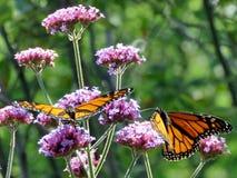 Toronto fjärilar för monark för sjö två på en blomma 2017 arkivfoto