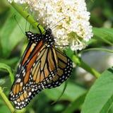 Toronto fjärilar för monark för sjö två på en vit blomma 2017 arkivfoton