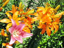 Toronto Garden Sunset Beacon lily flower 2014 Stock Photos
