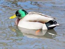 Toronto High Park duck on a pond 2017 Stock Photos