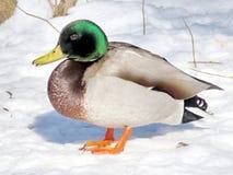Toronto High Park duck on a snow 2017 Stock Photos