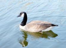 Toronto High Park geese 2010 Royalty Free Stock Image