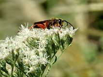 Toronto High Park Paper wasp on the white flower 2017 Royalty Free Stock Image