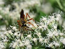 Toronto High Park Paper wasp on white flowers 2017 Stock Image