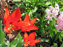 Toronto High Park red tulip and Gypsy Queen 2017 Royalty Free Stock Images