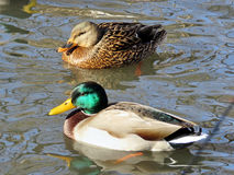 Toronto High Park winter pair of ducks 2017 Royalty Free Stock Images