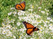 Toronto jeziora dwa Monarchiczni motyle na białych kwiatach 2017 Zdjęcie Stock