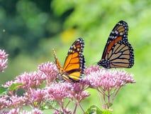 Toronto Jeziorni Monarchiczni motyle 2016 Zdjęcia Stock