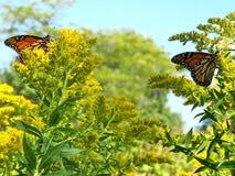 Toronto Jeziorni Monarchiczni motyle na Goldenrod kwiacie 2017 Obrazy Stock