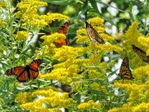 Toronto Jeziorni Monarchiczni motyle na kolorze żółtym kwitną 2017 Zdjęcia Stock