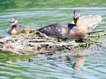 Toronto Jeziorni necked perkozy 2016 Zdjęcie Stock