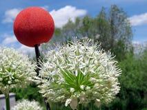 Toronto Jeziorny biały agapant i czerwieni piłka 2017 Obrazy Stock