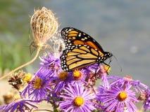 Toronto Jeziorny Monarchiczny motyl na brzeg 2017 Zdjęcia Royalty Free