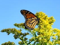 Toronto Jeziorny Monarchiczny motyl na Goldenrod kwiacie 2017 Obrazy Stock