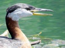 Toronto Jeziorny necked perkoz 2016 Obrazy Stock