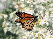 Toronto jezioro Monarchiczny motyl na białych kwiatach 2017 Zdjęcia Royalty Free