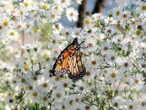 Toronto jezioro Monarchiczny motyl na białym kwiacie 2017 Zdjęcia Stock