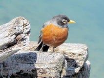 Toronto Lake the American Robin 2013 Royalty Free Stock Images