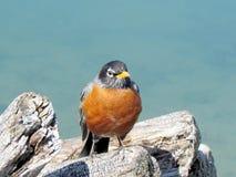 Toronto Lake American Robin isolated 2013 Royalty Free Stock Image