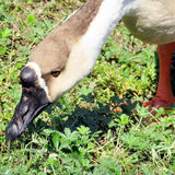 Toronto Lake Chinese Swan Goose grass nips 2016 Stock Photo