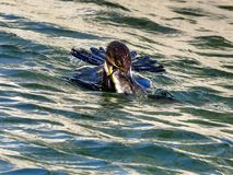 Toronto Lake the cormorant is catching fish 2017 Stock Images