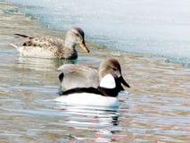 Toronto Lake ducks 2013 Royalty Free Stock Photo