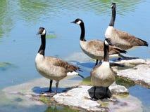 Toronto Lake geese 2016 Stock Images