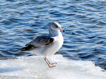 Toronto Lake the gull 2017 royalty free stock images