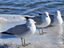 Toronto Lake gulls on the ice 2017 Royalty Free Stock Photography