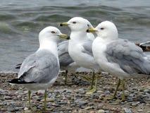 Toronto Lake gulls 2016 Royalty Free Stock Images