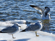 Toronto Lake the gulls 2017 Royalty Free Stock Images
