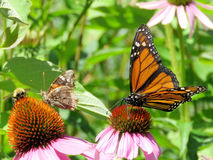 Toronto Lake Junonia coenia and Monarch butterfly 2017 stock photos