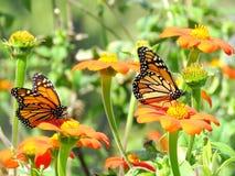 Toronto Lake Monarch butterflies on a flowers 2016