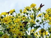 Toronto Lake Monarch butterflies on Ragwort flower 2017 Stock Photography