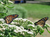 Toronto Lake Monarch butterflies on a white flower 2017 Stock Photography