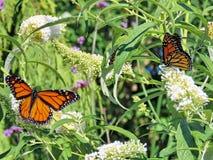 Toronto Lake Monarch butterflies on white flowers 2017 Stock Photo