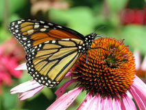 Toronto Lake Monarch butterfly 2016 Royalty Free Stock Photos