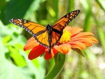 Toronto Lake Monarch butterfly 2017 Stock Photography