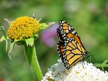 Toronto Lake Monarch butterfly on a white flower 2017 Royalty Free Stock Photo