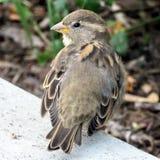 Toronto Lake portrait of sparrow 2016 Royalty Free Stock Image