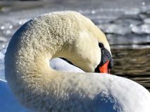 Toronto Lake portrait of swan 2017 Stock Images