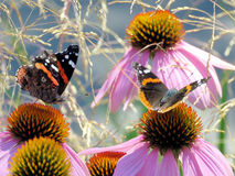 Toronto Lake Red Admiral Butterflies 2016 Stock Image